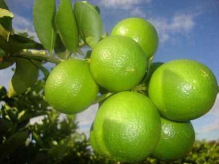 Citrus Fruit at Blue Sea Farm